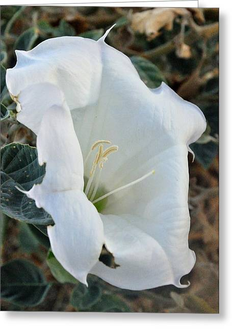 Desert Flower Greeting Card by Gene Sherrill