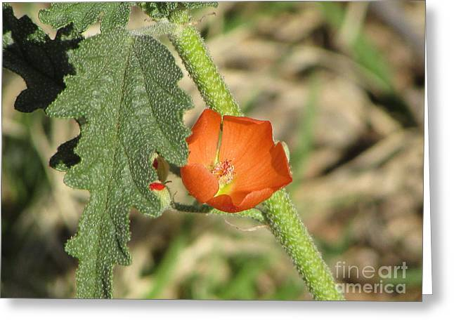 Desert Globemallow Bloom 202 Greeting Card by En-Chuen Soo