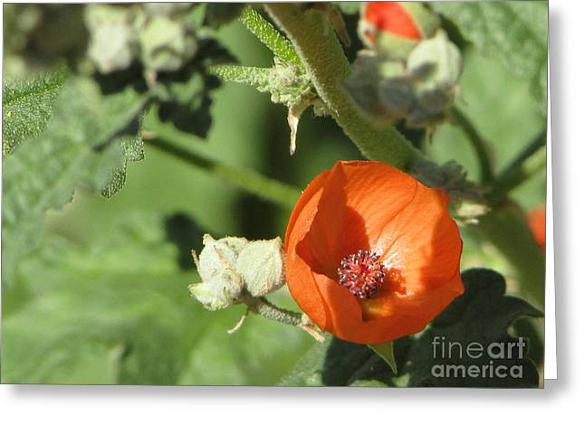 Desert Globemallow Bloom 215 Greeting Card by En-Chuen Soo