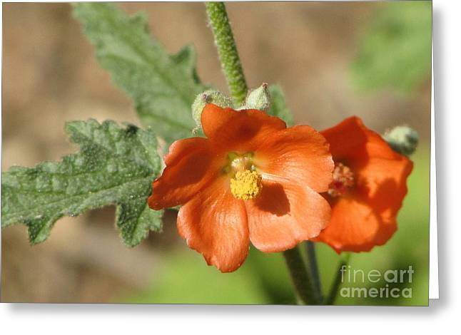 Desert Globemallow Bloom 220 Greeting Card by En-Chuen Soo