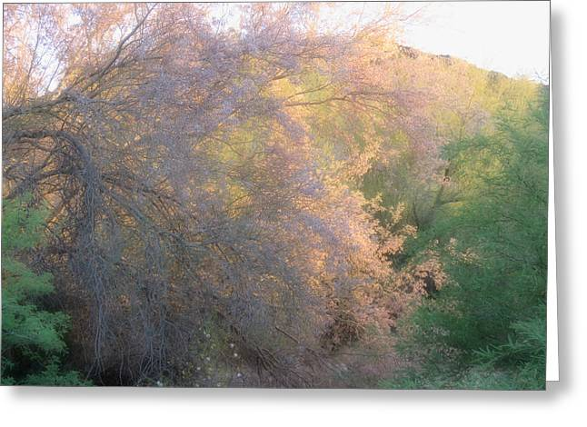 Desert Ironwood Blooming In The Golden Hour Greeting Card