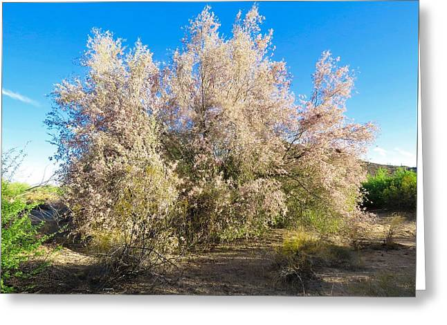 Desert Ironwood Tree In Bloom - Early Morning Greeting Card