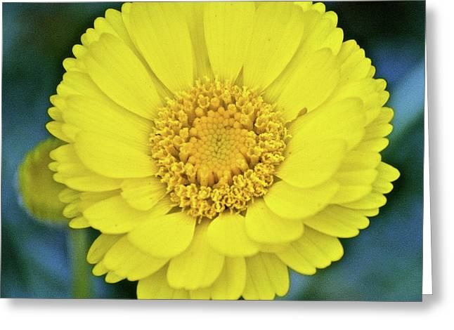 Greeting Card featuring the photograph Desert Marigold In Rancho Santa Ana Botanic Garden In Claremont-california by Ruth Hager