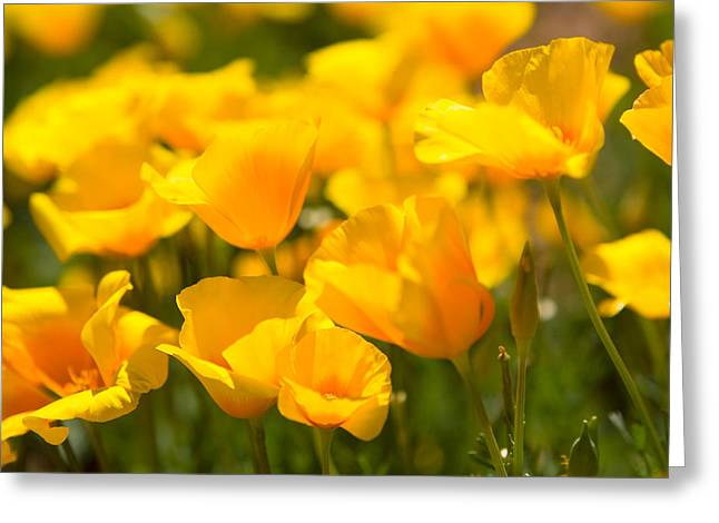 Desert Poppy Flowers In Bloom Greeting Card by Panoramic Images