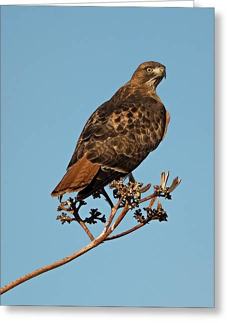 Desert Red Tail Greeting Card by Loree Johnson