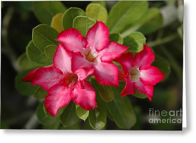Desert Rose Adenium Obesum Greeting Card by Larry Wright