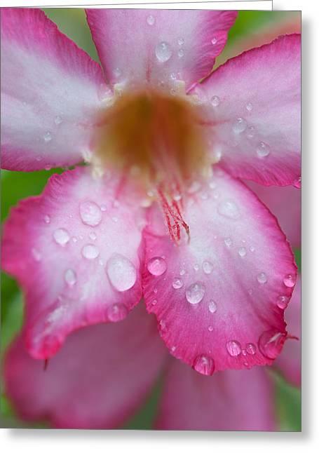 Desert Rose Macro Greeting Card by Jenny Rainbow