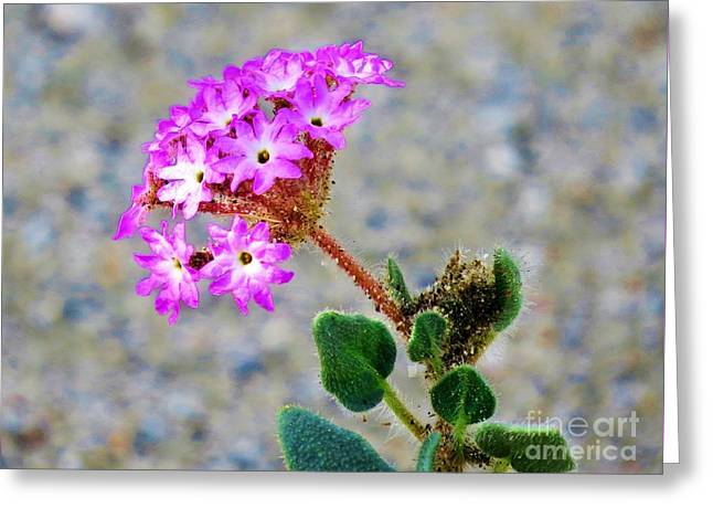 Desert Sand Verbena Greeting Card by Michele Penner