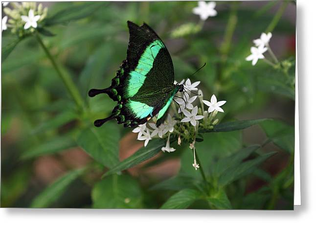 Desert Swallow Tail Greeting Card by David Yunker