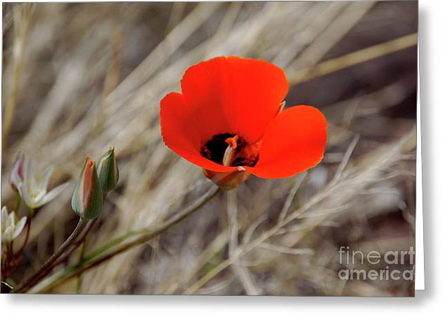 Desert Wildflower Greeting Card