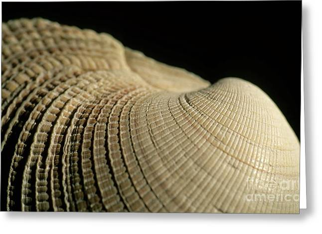 Detail Of A Textured Surface Of A Seashell Greeting Card by Sami Sarkis