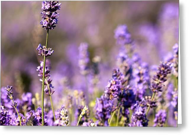 Detail Of Lavender Flower Greeting Card by Boyan Dimitrov