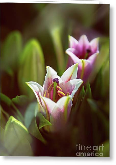 Detail Of Pink And White Oriental Lilies In Sunlight. Greeting Card by Jane Rix