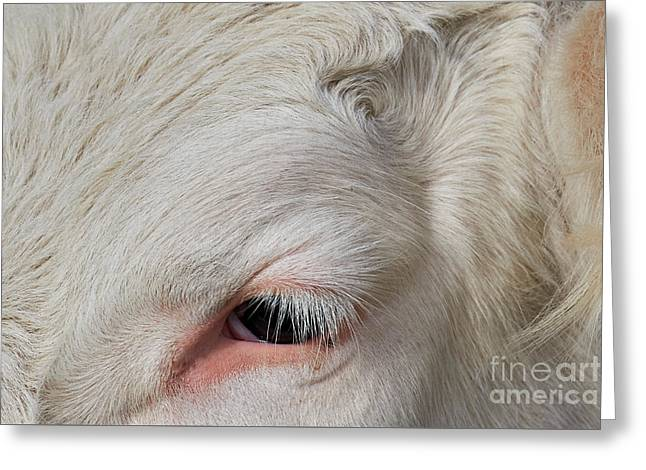 Detail Of The Head Of A Cow Greeting Card by Nick Biemans