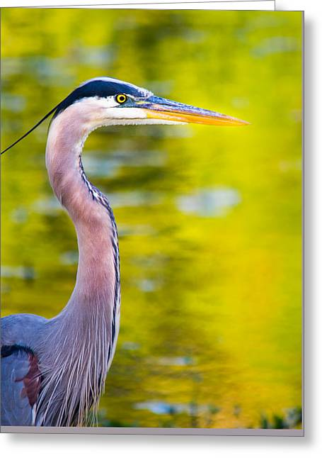 Details Of A Great Blue Heron  Greeting Card