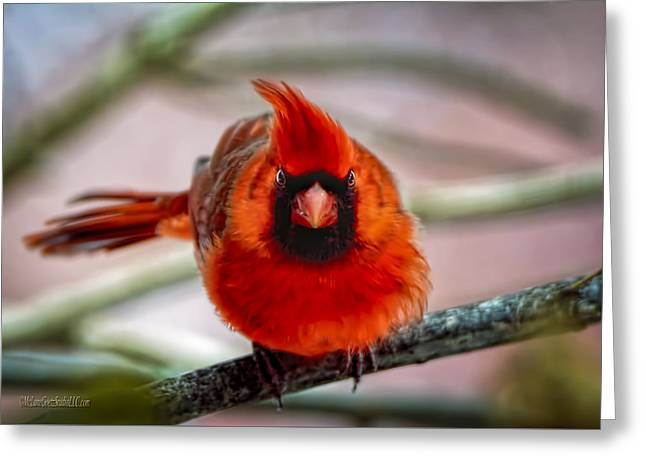 Determined Cardinal  Greeting Card
