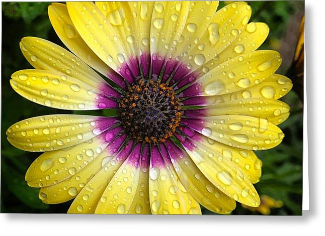 Dew Dropped Daisy Greeting Card