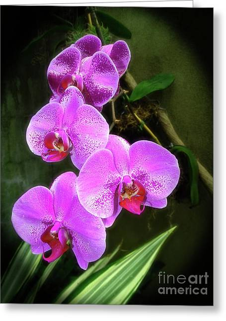 Dew-kissed Moth Orchids Greeting Card