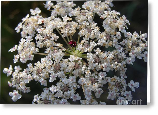 Dew On Queen Annes Lace Greeting Card