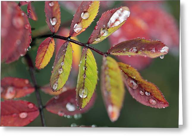 Dew On Wild Rose Leaves In Fall Greeting Card by Darwin Wiggett