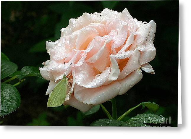 Dewdrops On A Rose Greeting Card by Addie Hocynec