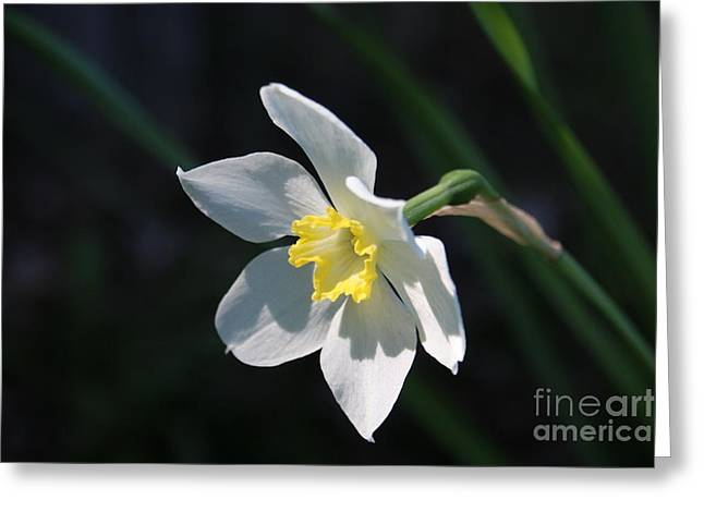 Diana's Daffodil Greeting Card