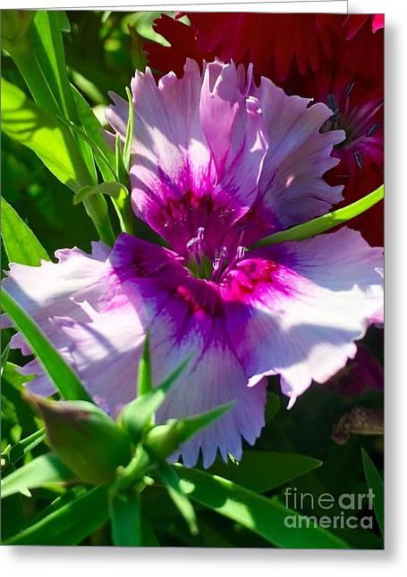 Dianthus Carnation Greeting Card