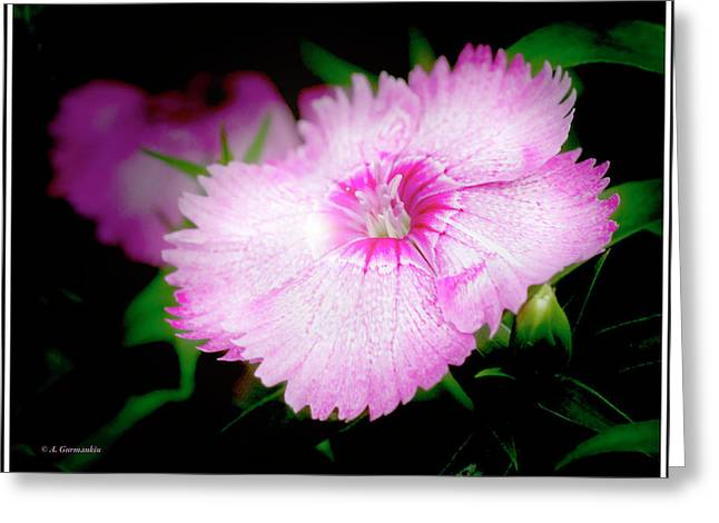 Dianthus Flower Greeting Card