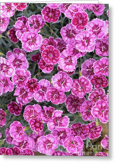 Dianthus Gold Fleck Greeting Card by Tim Gainey