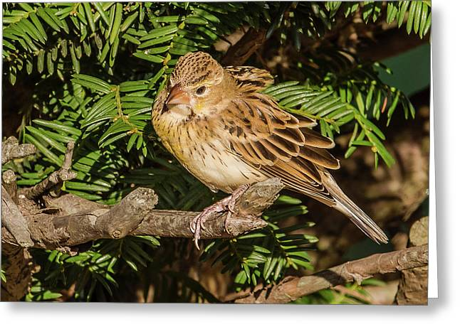 Dickcissel On A Branch Greeting Card