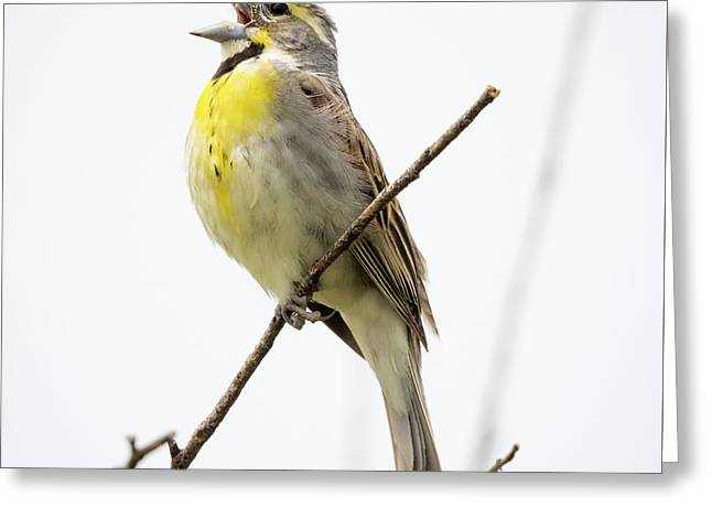 Dickcissel  Greeting Card
