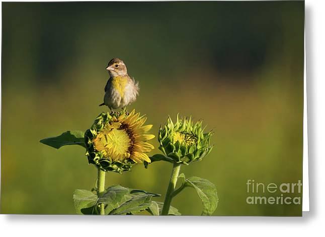 Dickcissel Sunflower Greeting Card