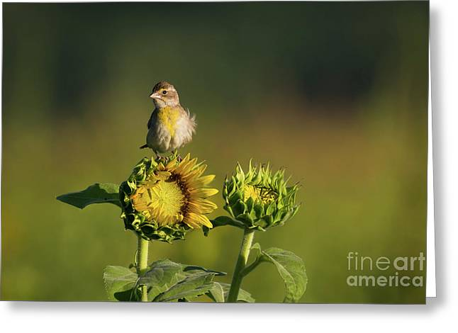 Dickcissel Sunflower Greeting Card