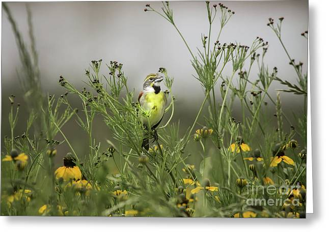 Dickcissel With Mexican Hat Greeting Card