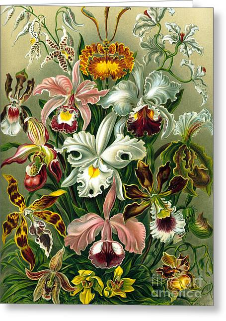 Different Varieties Of Orchid Greeting Card by Ernst Haeckel