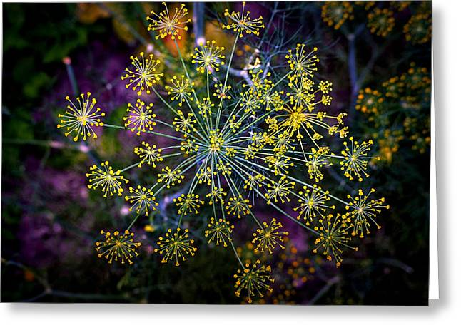 Dill Going To Seed Greeting Card