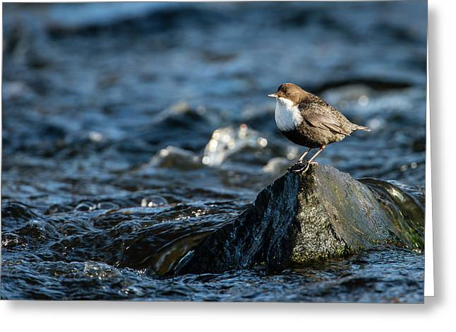 Greeting Card featuring the photograph Dipper On The Rock by Torbjorn Swenelius
