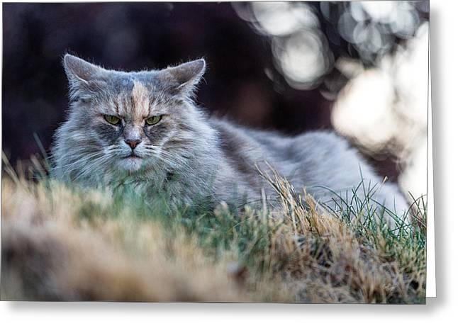 Disturbed Cat - Grace Greeting Card by Everet Regal