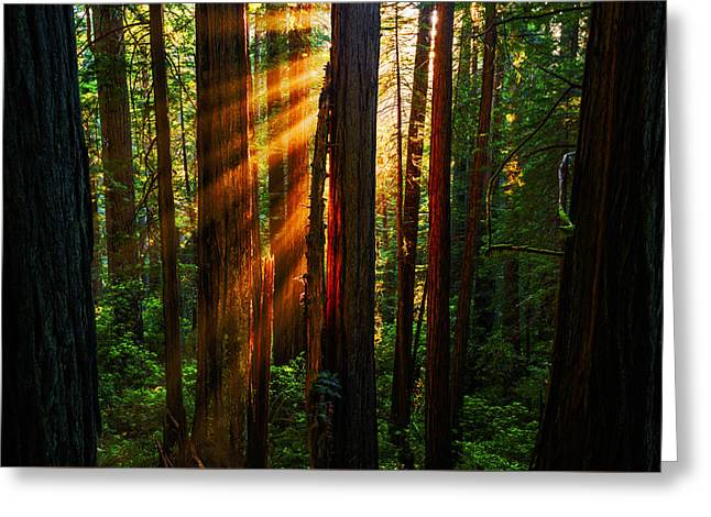 Divine Light At Redwood National Park California Usa Greeting Card by Vishwanath Bhat