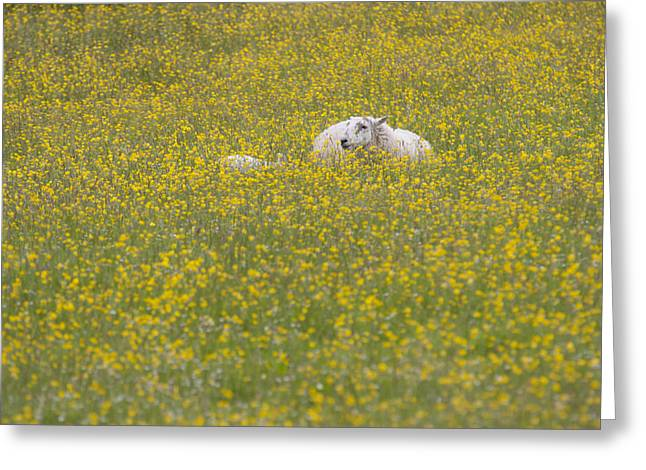 Do Ewe Like Buttercups? Greeting Card