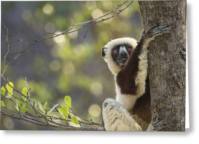Do Lemurs Smile Greeting Card