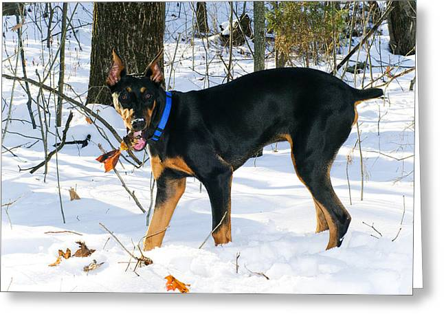 Doberman Greeting Card by Melissa  Riggs