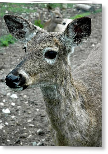 Greeting Card featuring the photograph Doe Eyes by LeeAnn McLaneGoetz McLaneGoetzStudioLLCcom