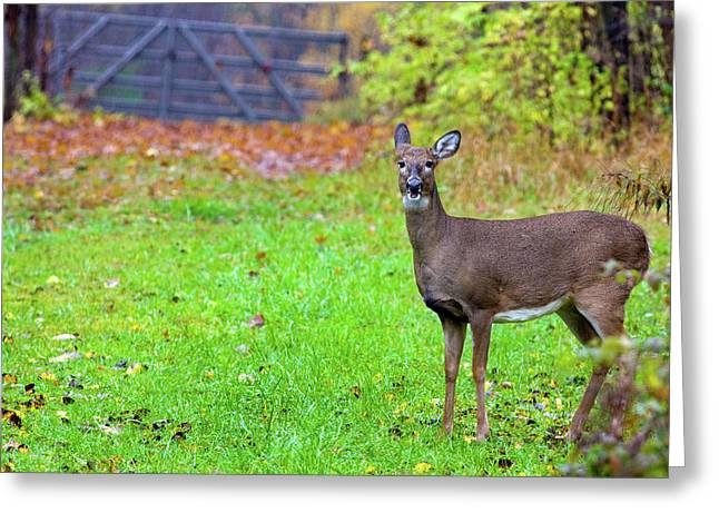 Hunting Bird Greeting Cards - Doe in early autumn Greeting Card by Alan Look