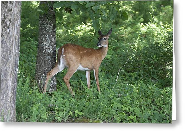 Doe In The Forest Greeting Card by Tina B Hamilton