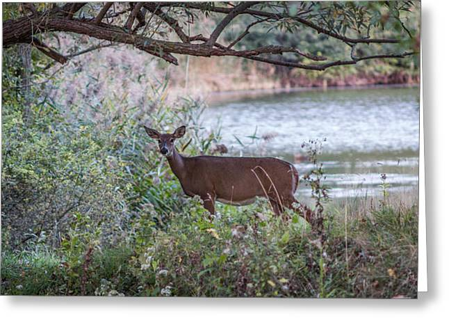 Greeting Card featuring the photograph Doe Under Arching Branches by Chris Bordeleau