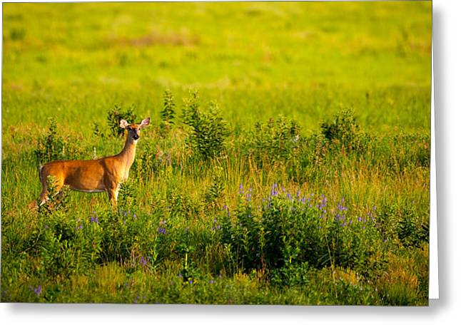 Greeting Card featuring the photograph Whitetail Doe In Prairie Clover by Jeff Phillippi