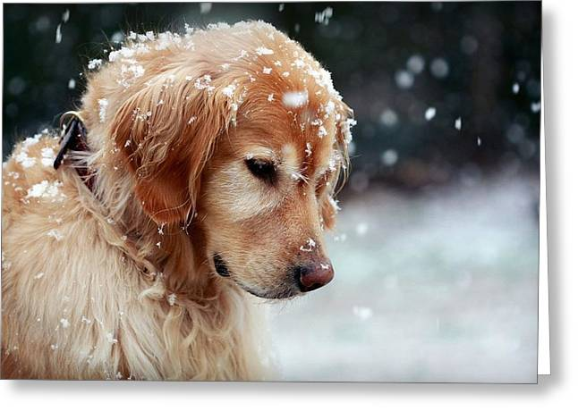 Dog Golden Retriever In Snow                  Greeting Card