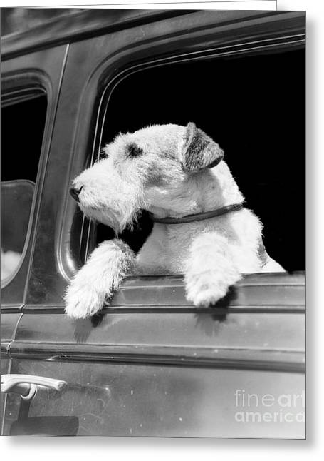 Dog Looking Out Of Car Window Greeting Card