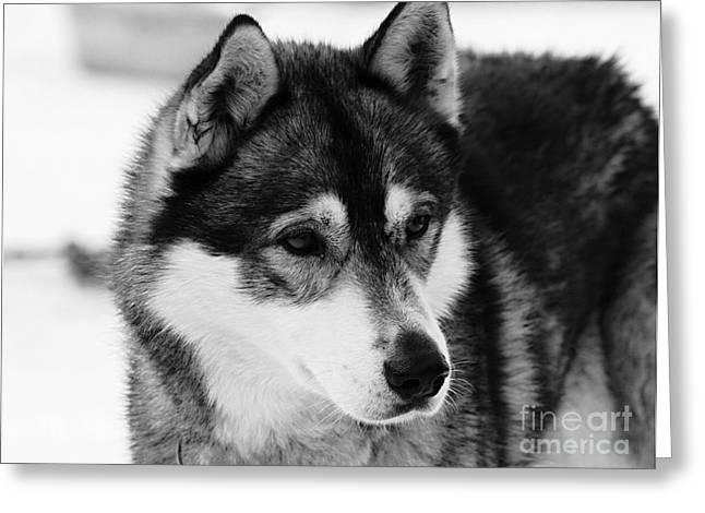 Dog - Monochrome 3 Greeting Card